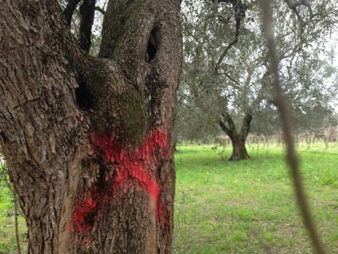 Xylella. Batterio anche in Francia. VIDEO